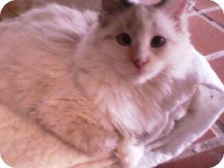 Domestic Shorthair Kitten for adoption in Fallon, Nevada - Pippa