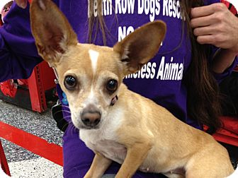 Chihuahua Dog for adoption in Van Nuys, California - Lilly