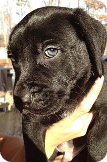 Terrier (Unknown Type, Medium) Mix Puppy for adoption in Richmond, Virginia - Sam