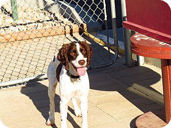 English Springer Spaniel Mix Dog for adoption in Meridian, Idaho - Daisy