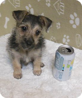 Cairn Terrier Mix Puppy for adoption in Gary, Indiana - Oscar