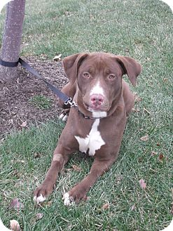 Labrador Retriever Mix Dog for adoption in Salem, Massachusetts - Lizzie