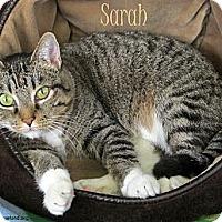 Domestic Shorthair Cat for adoption in St Louis, Missouri - Sarah