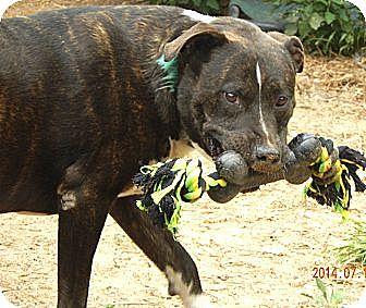 Pit Bull Terrier Mix Dog for adoption in Battle Creek, Michigan - Farouk