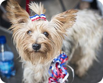 Yorkie, Yorkshire Terrier Dog for adoption in Las Vegas, Nevada - Cinnamon
