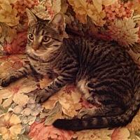 Domestic Shorthair Cat for adoption in Monrovia, California - Diablo
