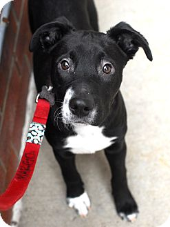 Labrador Retriever/Terrier (Unknown Type, Medium) Mix Dog for adoption in Detroit, Michigan - Ozzy-Adopted!
