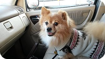 Pomeranian/Pomeranian Mix Dog for adoption in Forest Hills, New York - brownie