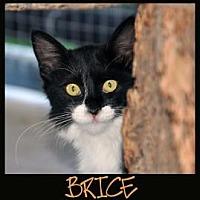 Domestic Mediumhair Cat for adoption in Alamogordo, New Mexico - BRICE