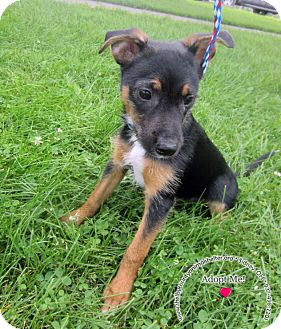 Terrier (Unknown Type, Small) Mix Dog for adoption in Sidney, Ohio - Hotdog