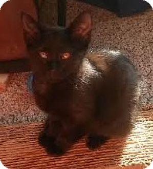 Domestic Shorthair Kitten for adoption in Auburn, Alabama - Spark