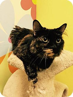 Domestic Mediumhair Cat for adoption in Mims, Florida - Serena
