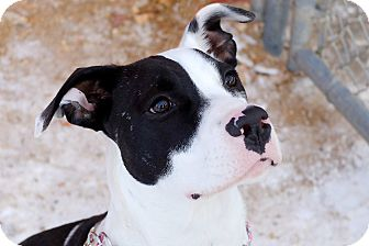 Pit Bull Terrier Mix Dog for adoption in Douglas, Wyoming - Lily