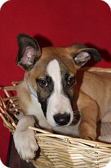 Shepherd (Unknown Type) Mix Dog for adoption in Waldorf, Maryland - Jimmy