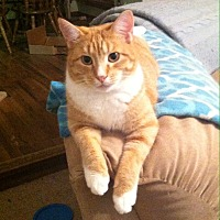 Domestic Shorthair Cat for adoption in Wichita Falls, Texas - Caspian