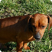 Adopt A Pet :: Coby - Howell, MI
