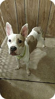 Pit Bull Terrier Mix Dog for adoption in Hanna City, Illinois - Hally