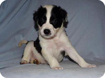 Border Collie/Australian Shepherd Mix Puppy for adoption in Charlotte, North Carolina - Grumpy