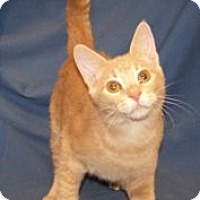 Adopt A Pet :: K-Ginger2-Adonis - Colorado Springs, CO