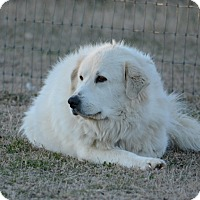 Great Pyrenees Mix Dog for adoption in Kyle, Texas - Angel LGD