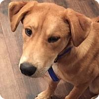 Adopt A Pet :: Luke - Schaumburg, IL