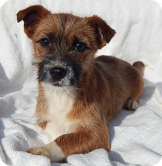 Parson Russell Terrier/Terrier (Unknown Type, Small) Mix Puppy for adoption in West Sand Lake, New York - Brownie (7 lb) Video!
