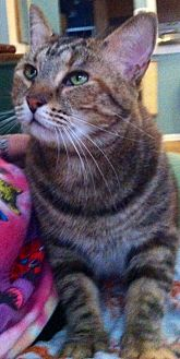 Domestic Shorthair Cat for adoption in Tampa, Florida - Amy