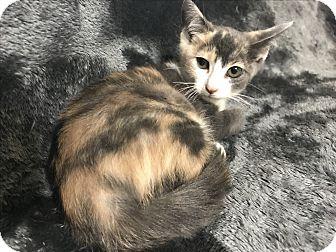 American Shorthair Kitten for adoption in Dallas, Texas - Jelly Bean