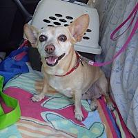 Adopt A Pet :: Angel - Quail Valley, CA