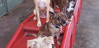 Cairn Terrier/Chihuahua Mix Dog for adoption in Lake Forest, California - Bobby