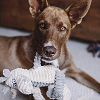 Adopt A Pet :: Copper - Winnipeg, MB