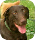 Labrador Retriever Dog for adoption in Jacksonville, Florida - Coach