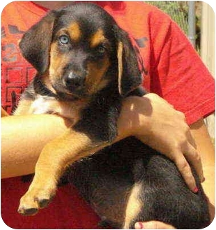 Doberman Pinscher/Australian Shepherd Mix Puppy for adoption in Pisgah, Alabama - Russell