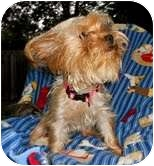 Yorkie, Yorkshire Terrier Dog for adoption in Crystal River, Florida - Annie - courtesy listing