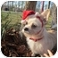 Photo 1 - Cairn Terrier/Chihuahua Mix Dog for adoption in Foster, Rhode Island - Skippy
