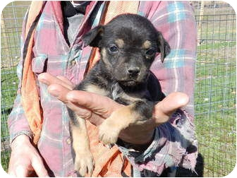 Pug/Feist Mix Puppy for adoption in Lawrenceburg, Tennessee - Lady