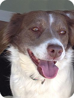 Spaniel (Unknown Type) Mix Dog for adoption in San Diego, California - Cassidy