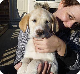 Golden Retriever/Labrador Retriever Mix Puppy for adoption in Cincinnati, Ohio - Custard