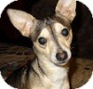 Fox Terrier (Smooth)/Chihuahua Mix Dog for adoption in Hamilton, Ontario - Corky