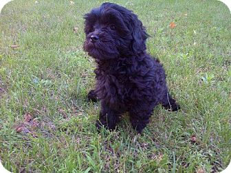 Shih Tzu/Poodle (Toy or Tea Cup) Mix Puppy for adoption in Treton, Ontario - Shi poo pups