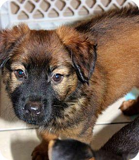 German Shepherd Dog/Collie Mix Puppy for adoption in Miami, Florida - Merida
