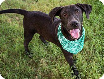 Great Dane/Labrador Retriever Mix Puppy for adoption in Pilot Point, Texas - CHANCE