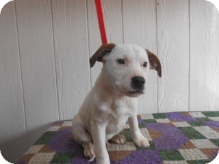 Bluetick Coonhound Mix Puppy for adoption in East Hartford, Connecticut - Jack 2 in CT