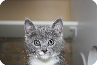 Domestic Shorthair Kitten for adoption in Armuchee, Georgia - Aretha