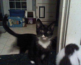 Domestic Shorthair Cat for adoption in Clarkson, Kentucky - Diamond