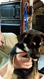 German Shepherd Dog Mix Puppy for adoption in ST LOUIS, Missouri - Janette