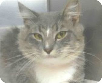 Domestic Shorthair Cat for adoption in Tinton Falls, New Jersey - Silly SImon