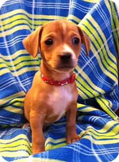 Chihuahua Mix Puppy for adoption in Charlotte, North Carolina - Bing (Search Engine Litter)
