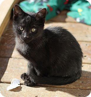Domestic Shorthair Kitten for adoption in Concord, North Carolina - Romeo