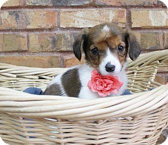 Beagle/Spaniel (Unknown Type) Mix Puppy for adoption in Benbrook, Texas - Thursday